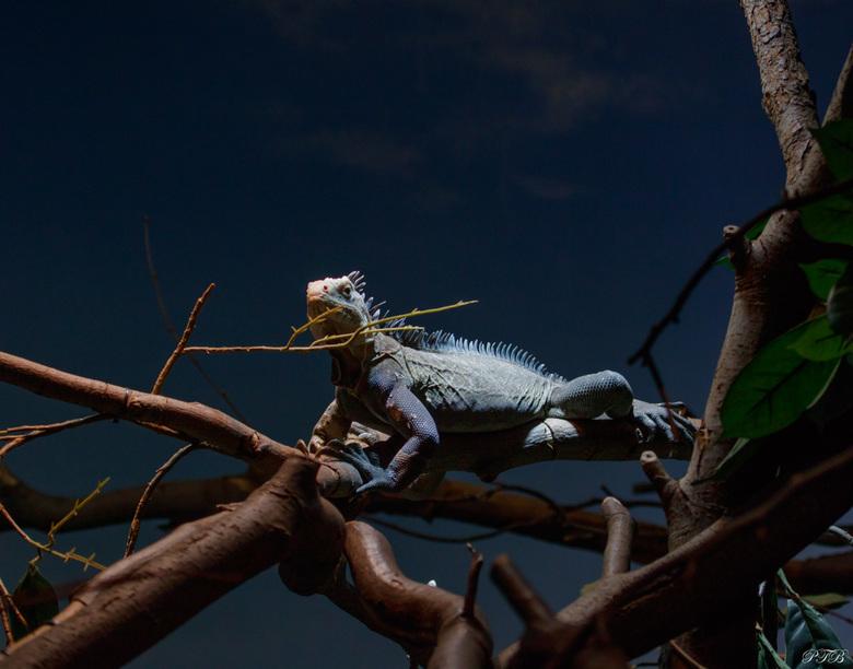 Antilliaanse leguaan - De Antilliaanse leguaan is een zeer bedreigde diersoort. In het kader van een internationaal fokprogamma wordt geprobeerd dit s