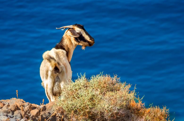 Geiten op Fuerteventura - Op het eiland Fuerteventura leven meer geiten dan inwoners. Geitenkaas is een belangrijk exportproduct van het eiland.<br />
