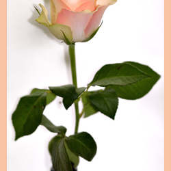 A Single Rose!
