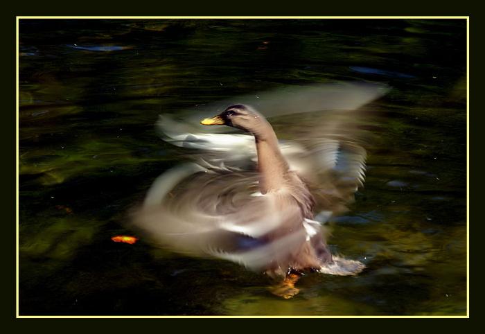 Dansende eend - De eend was goed op dreef en deed voor mij nog een dansje.