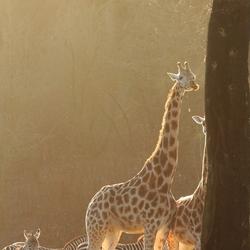 Giraffes in de zon