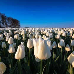 White tulips at sunrise.