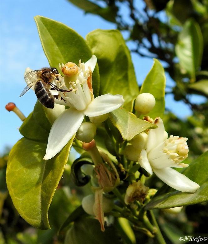 Sinaasappelbloesem... - De citrus bomen staan weer vol in bloei, terwijl het fruit en nog niet af is. Heerlijke zoete geuren komen je tegemoet.<br />