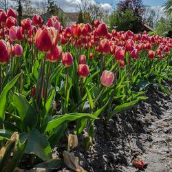 Tulpen uit de Noordoostpolder