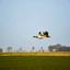 Eenden vliegt over het weiland.