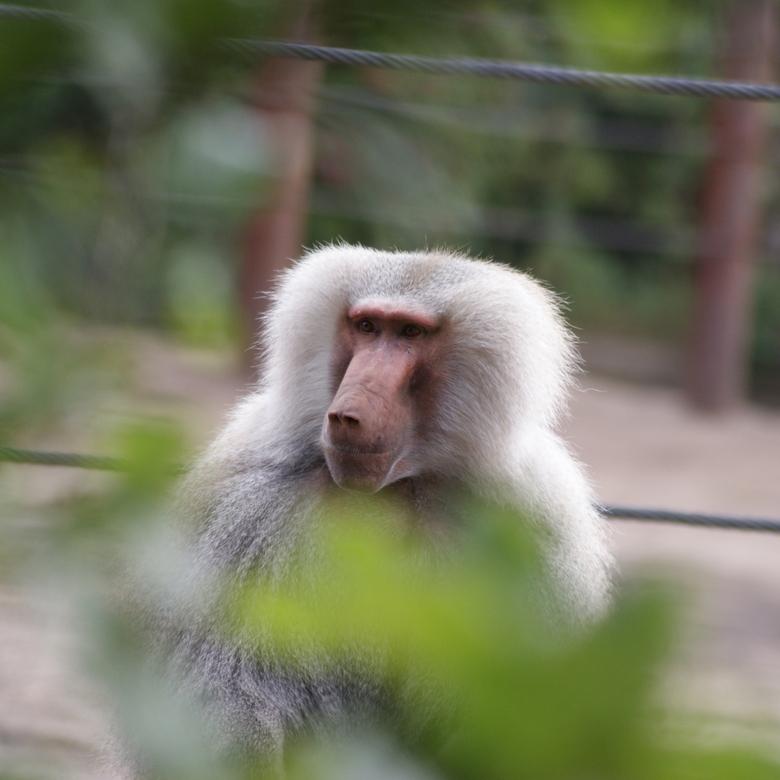 Gluren naar de apen - Baviaan