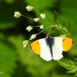 Vlinder (Oranjetipje)