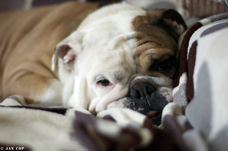 Lizy-dreaming - Onze English Bulldog Lizy ...