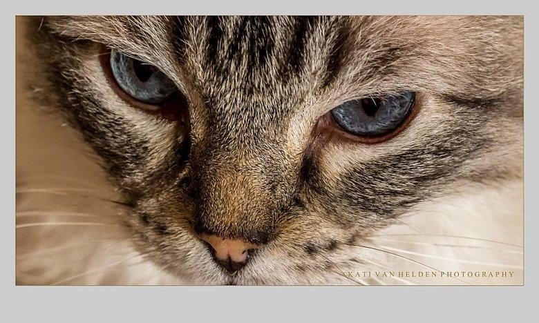 What do you think about it.... - De Ragdoll (Lappenpop) De Ragdoll is een kattenras. Ragdolls zijn forse katten met halflange zijdezachte vacht. Pas r