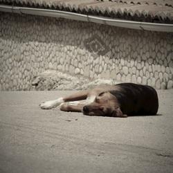 Lazy dog, Zakynthos