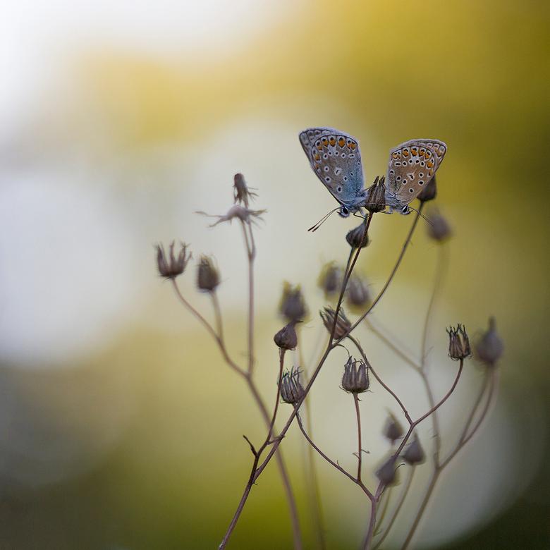 samen - Voor de broodnodige variatie nog maar eens een macro, 2 blauwtjes in de Appelzak van meer dan een jaar geleden...<br /> Zo nu en dan blader i