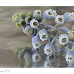 Blauwe druifjes op aluminiumfolie