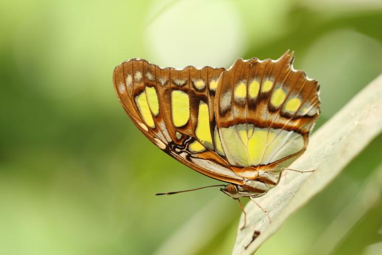 De malachietvlinder  - Wat te doen als de dagen weer grijs en koud worden. Heerlijk dagje vlindertuinen. Dit pracht exemplaar ging er even goed voor z