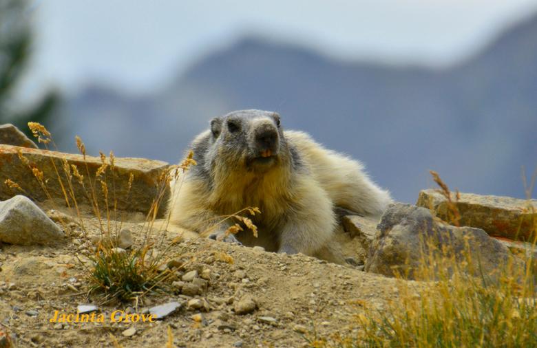 Marmot in de Franse alpen