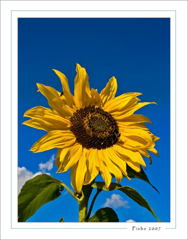 Late summer - Zaterdag 22 september jl. kwamen we op weg naar De Deelen een mais veldje tegen met daar tussen in wat zonnebloemen. <br /> Dus het mai