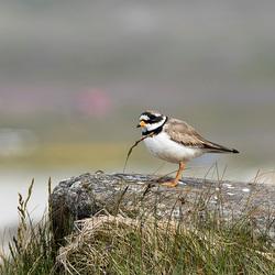 IJslands vogeltje