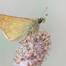 Groot dikkopje - Ochlodes sylvanus