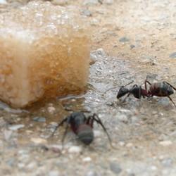 Mieren en suiker