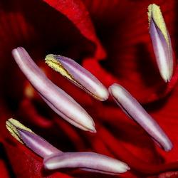 Abstracte amaryllis