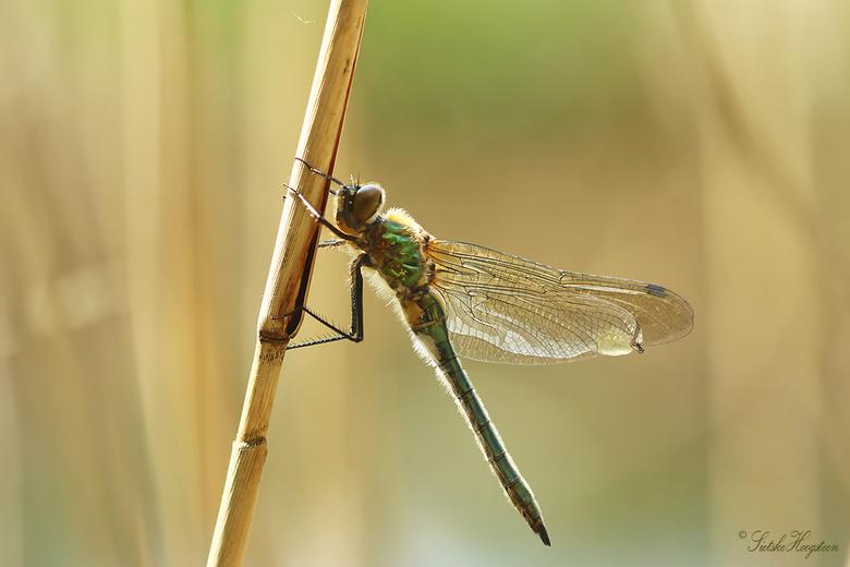 Smaragdlibel - Een net uitgeslopen smaragdlibel, bijna klaar voor zijn eerste vlucht.