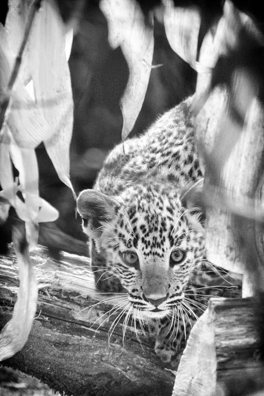 Sri Lanka panter - jong op onderzoek -