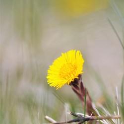 Klein hoefblad in de lente