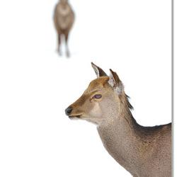 Sika hert in key