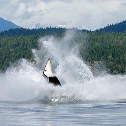 Orka Splash
