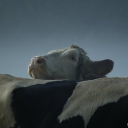 Koeien in ochtenddauw