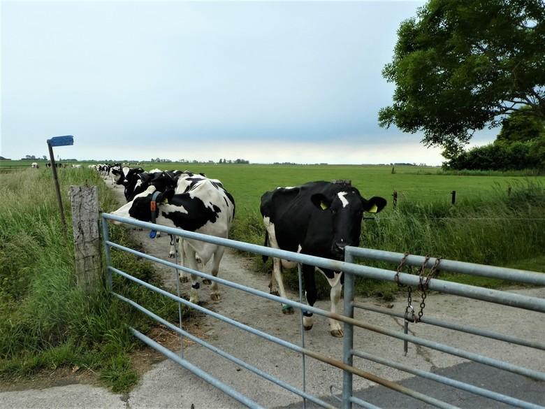 6 geen stoplicht - Geen stoplicht of spoorweg overgang,maar bijna 100 koeien die op weg zijn naar de melkstal. En de koeien hebben voorrang.Geweldig.g