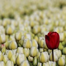 tulpen op zijn mooist