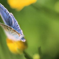 blauw vlinder