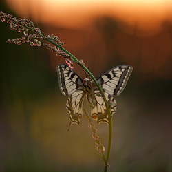 koninginnepage in de opkomende zon