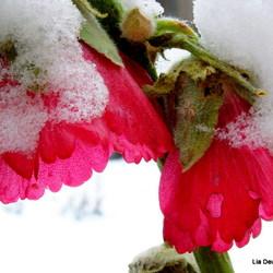 stokroos overvallen door de sneeuw