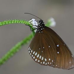 Vlinder (2)