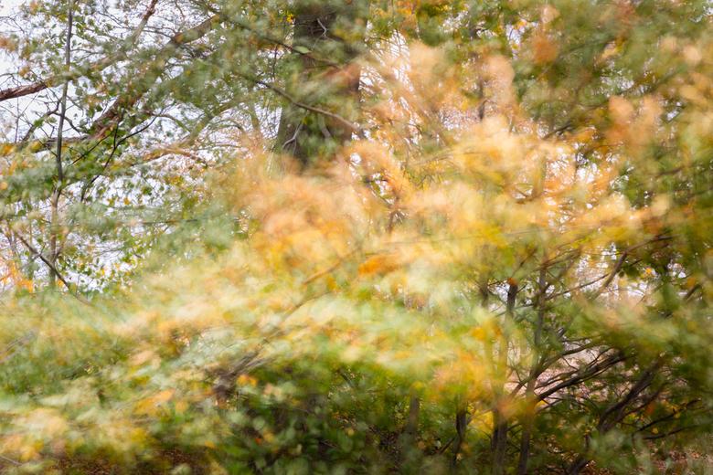 windje - Beukenboom in herfstkleuren op een winderige dag.