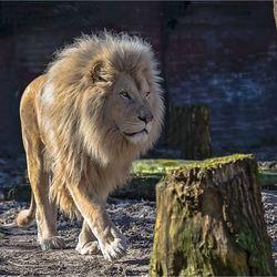 witte leeuw 02