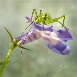 kleine groene springer......
