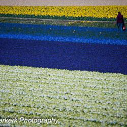 Bollenvelden Noordwijkerhout