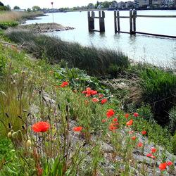 Klaprozen langs de Hollandse IJssel