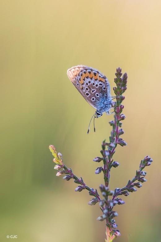Heideblauwtje - Een beetje zonneschijn op deze grijze dag.Deze foto is op vakantie gemaakt,daar denk ik nog graag aan terug.Een heideblauwtje in de on