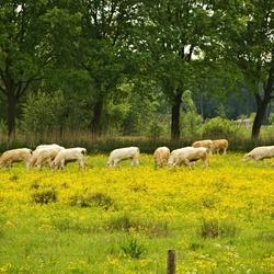 Grazende koeien.