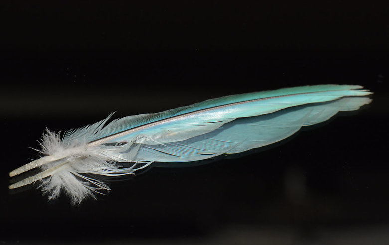 Blue Feather. -