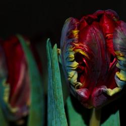 Tulp vol kleur..