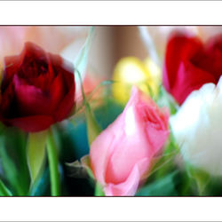 Experiment Roses
