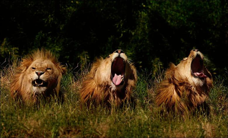 ze brulden en wonnen weer.............. - de Nederlandse Leeuwen en drie van hen wilden wel even voor me poseren...........
