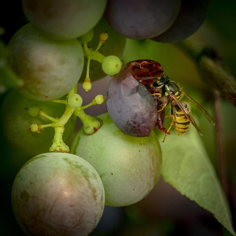 Ook wespen - houden van druiven.<br /> <br /> Bedankt voor de reacties en waarderingen bij &#039;van groen naar bruin&#039; en &#039;denk erom...mon