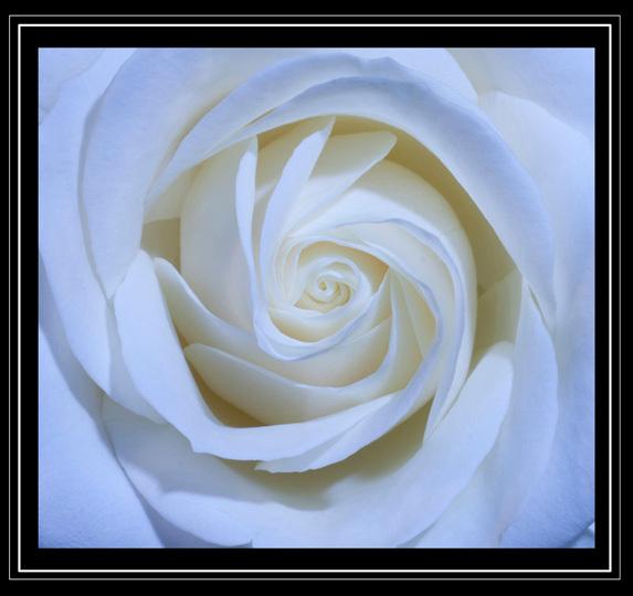 Roos - Macro van een witte roos.
