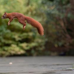 springend eeekhoorn