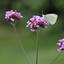 Vlinder op de bloem